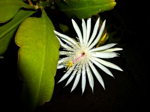 Flower of Night Blooming Cereus