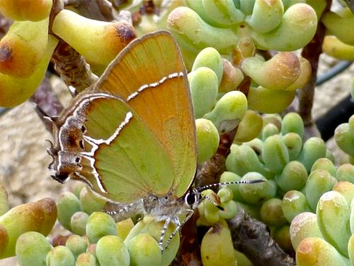 Pale green & orange butterfly