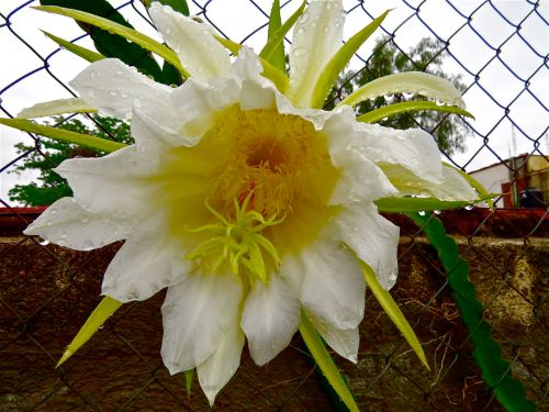 Pitaya flower with rain drops