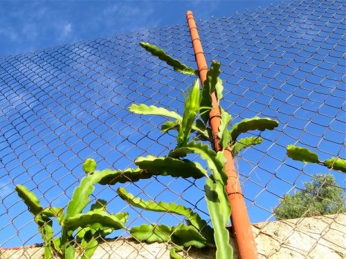 Pitahaya climbing chain link fence
