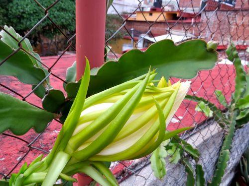 Pitahaya blossom