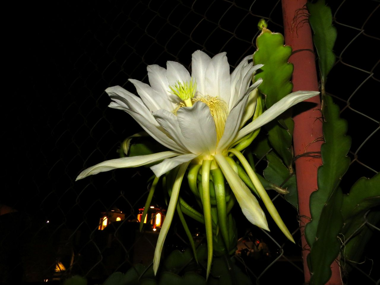 Pitahaya flower, side view