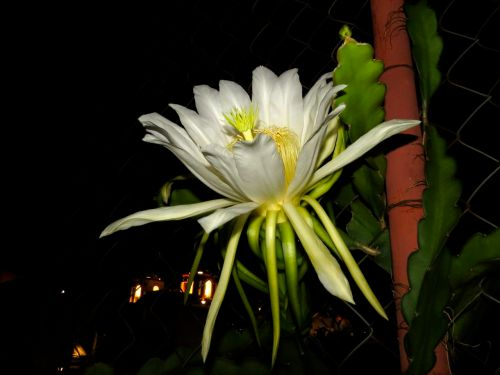 Pitahaya flower, side view