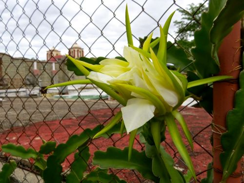 Pitahaya flower closed