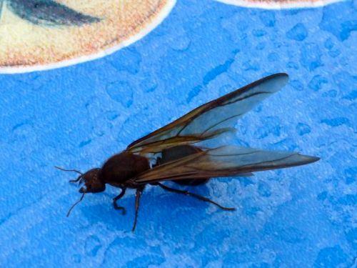 Female chicatana on blue oilcloth