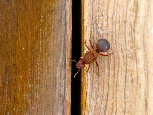 Male chicatana on wood deck