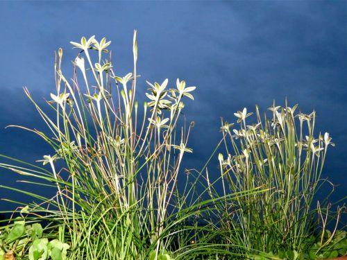 Stalks of flowering azucenas