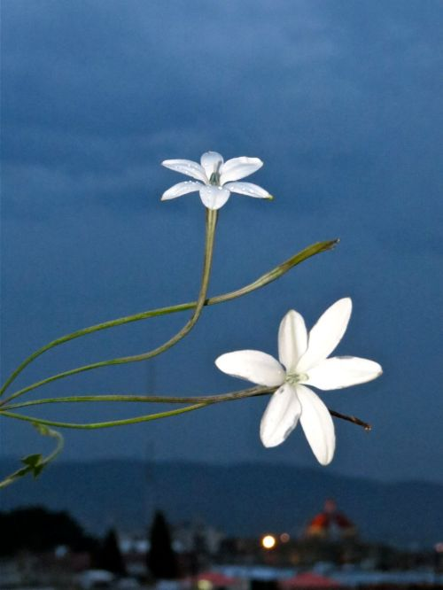 2 azucenas flowers against dark sky