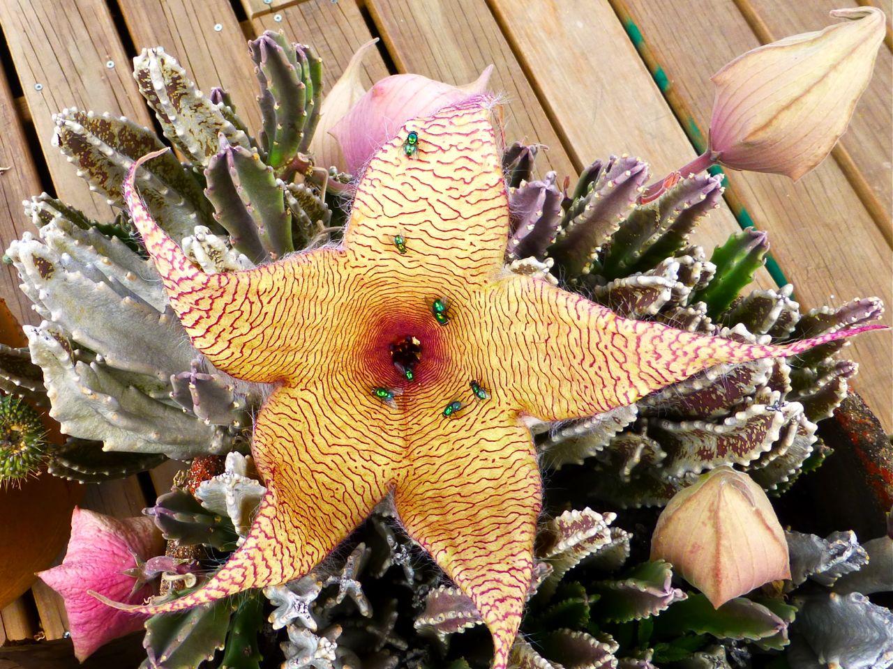 Stapelia gigantea open flower with 7 green bottle flies