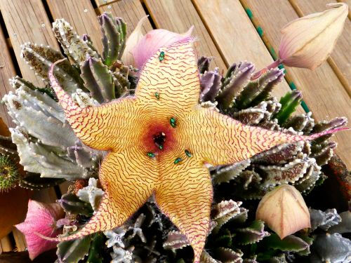 Stapelia gigantea open flower with 7 green bottle flies