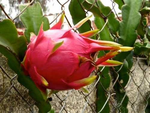 Pitahaya fruit