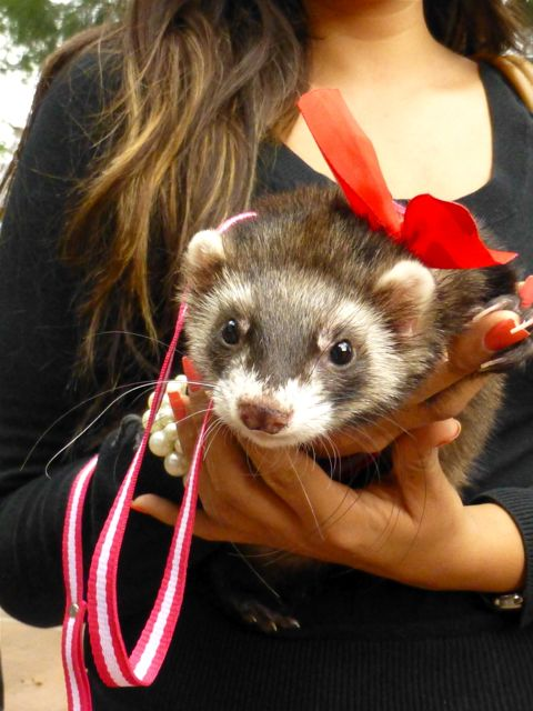 Ferret with red bow on head