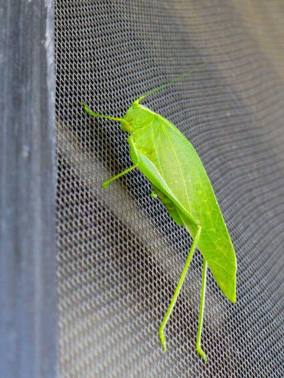 Green grasshopper on screendoor