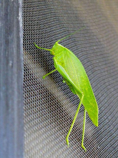Green grasshopper on screendoor