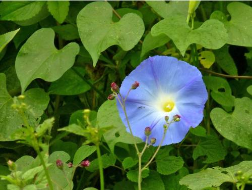 Blue flower surrounded by green leaves