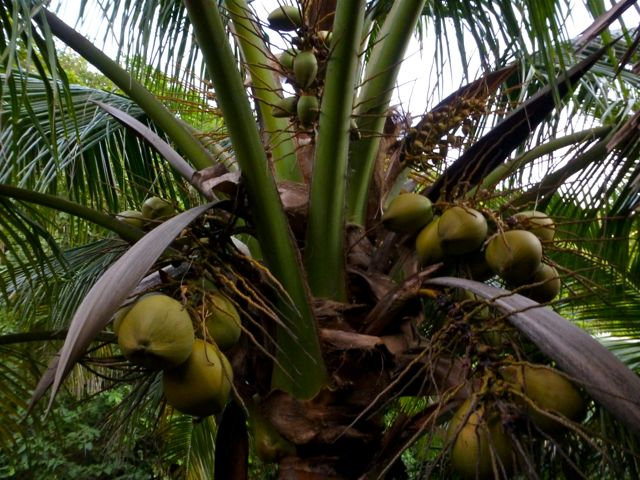 Coconut tree, Mazunte, Oaxaca