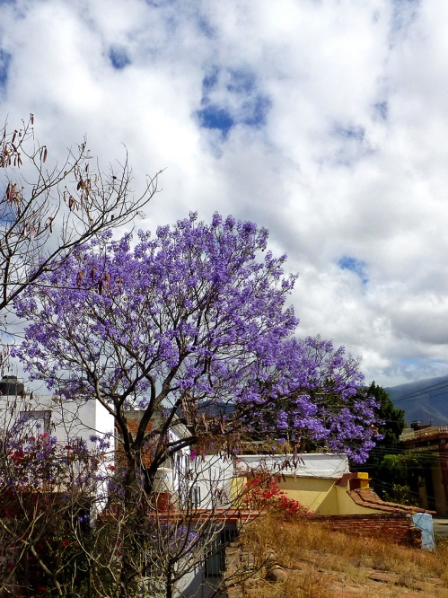 Jacaranda from my window