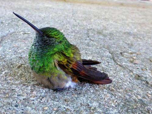 Baby hummingbird on driveway