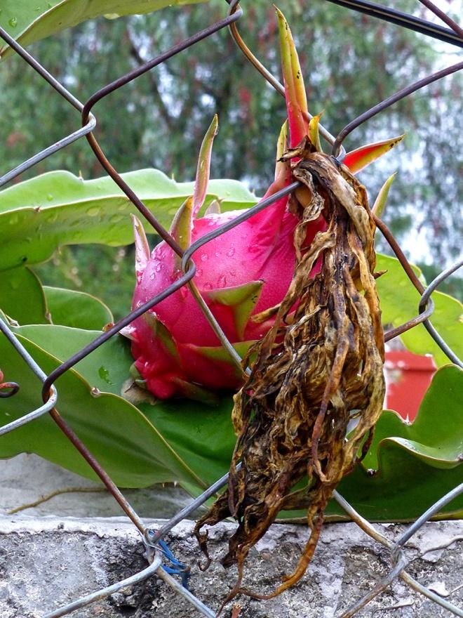 Red ripe Pitaya fruit