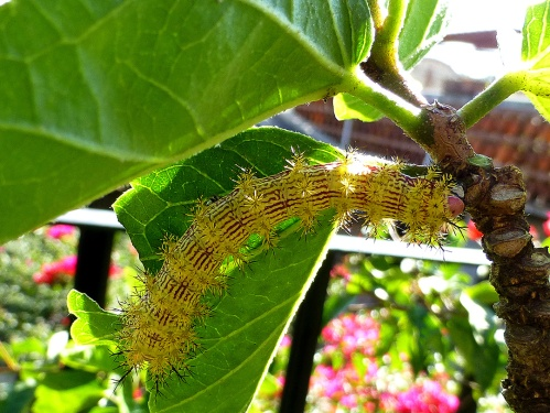 Yellow with red vertical stripes hairy catepillar