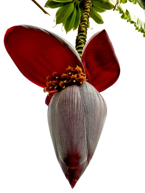 Banana flower/heart