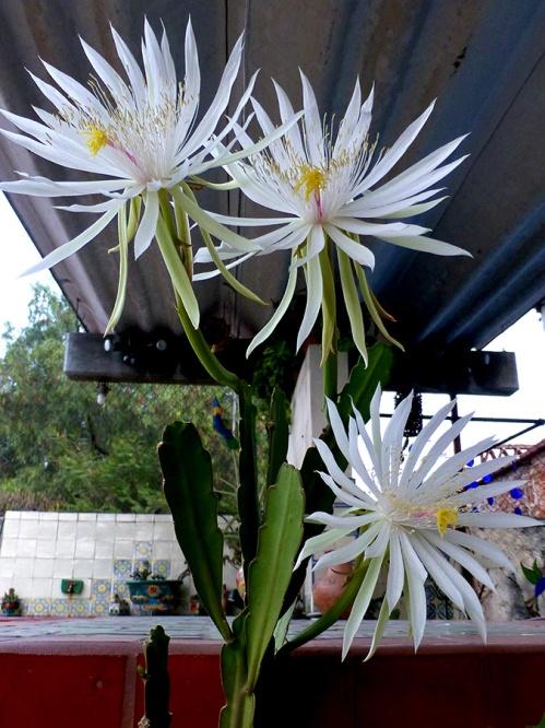 3 night blooming cereus flowers