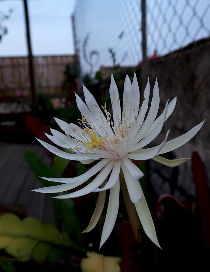 Night blooming cereus flower