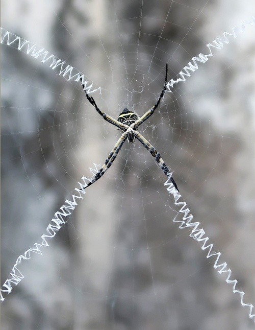 Argiope spider in middle of web with stabilimentum