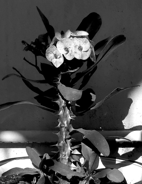 Black and white photo of Crown of thorns plant